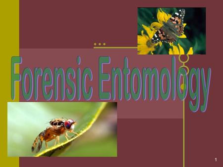 1. 2 Entomology Review: Forensic entomologists study Based on the life cycle stage of insects, entomologists can determine how long a body has been dead;