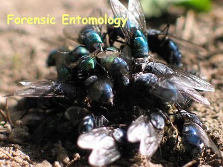 Forensic Entomology. What is Forensic Entomology? Application of insects to legal issues. Insects associated with crimes Usually violent crimes such as.