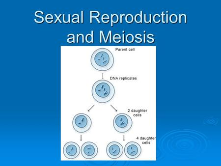 Sexual Reproduction and Meiosis.  Meiosis ≠ sexual reproduction! Meiosis makes the cells that are responsible for sexual reproduction Meiosis makes the.