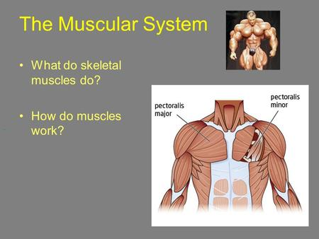 The Muscular System What do skeletal muscles do? How do muscles work?