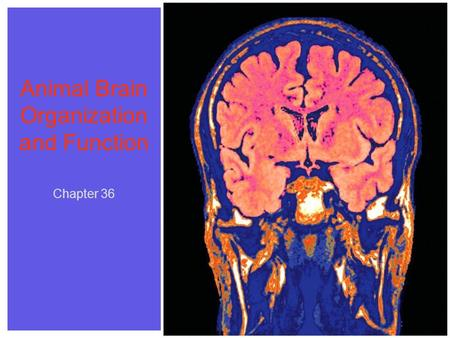 Chapter 36 Animal Brain Organization and Function Chapter 36.
