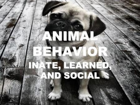 ANIMAL BEHAVIOR INATE, LEARNED, AND SOCIAL. WHAT IS BEHAVIOR? BEHAVIOR is anything an animal does in response to a stimulus. EXAMPLES: –HEAT stimulates.