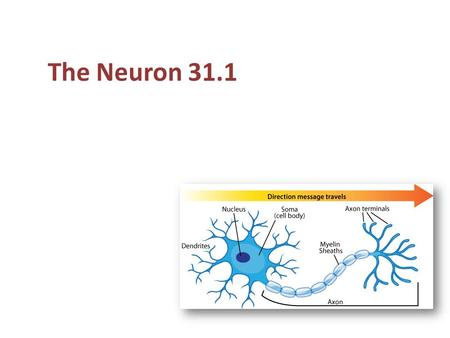 The Neuron 31.1. Functions of the nervous system Two parts to the nervous system: Peripheral nervous system – nerves and supporting cells that collects.
