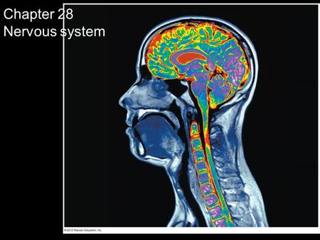 Chapter 28 Nervous system. NERVOUS SYSTEM STRUCTURE AND FUNCTION © 2012 Pearson Education, Inc.