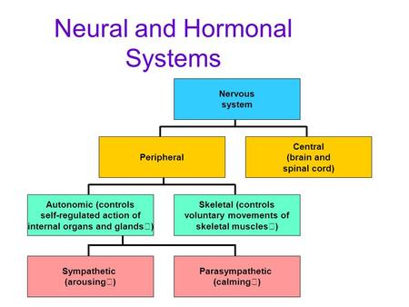 Neural and Hormonal Systems Central (brain and spinal cord) Nervous system Autonomic (controls self-regulated action of internal organs and glands) Skeletal.