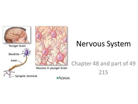 Nervous System Chapter 48 and part of 49 215. Nervous System Functions – Electrochemical communication – Regulation and coordination of body – Homeostasis.