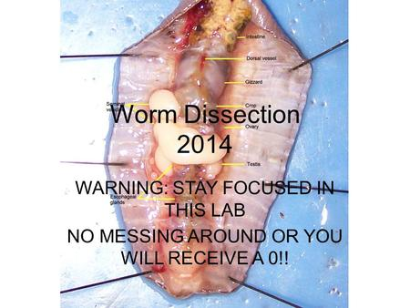 Worm Dissection 2014 WARNING: STAY FOCUSED IN THIS LAB NO MESSING AROUND OR YOU WILL RECEIVE A 0!!
