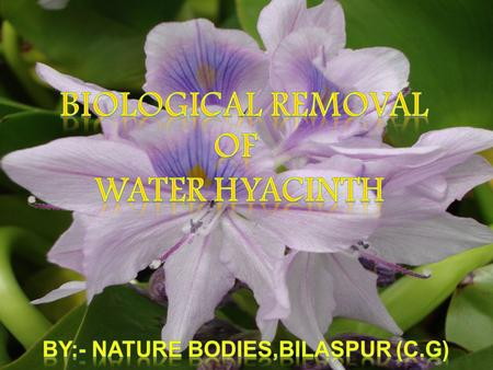 Water hyacinth, a native of Brazil was introduced in Calcutta Botanical Garden way back in 1895 to decorate garden ponds. Subsequently, this aquatic plant.