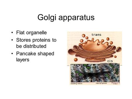 Golgi apparatus Flat organelle Stores proteins to be distributed Pancake shaped layers.