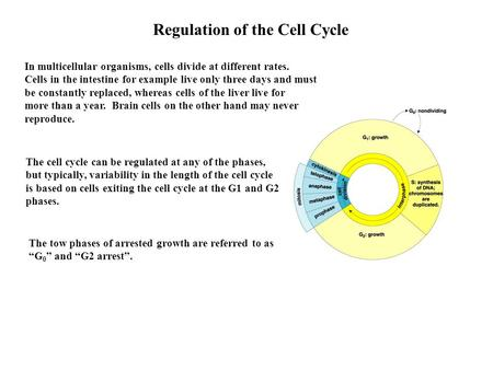 Regulation of the Cell Cycle The cell cycle can be regulated at any of the phases, but typically, variability in the length of the cell cycle is based.