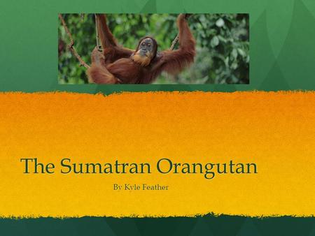 The Sumatran Orangutan By Kyle Feather. Habitat The habitat of the Sumatran Orangutan the the rainforest. They live in the rainforest for the trees because.