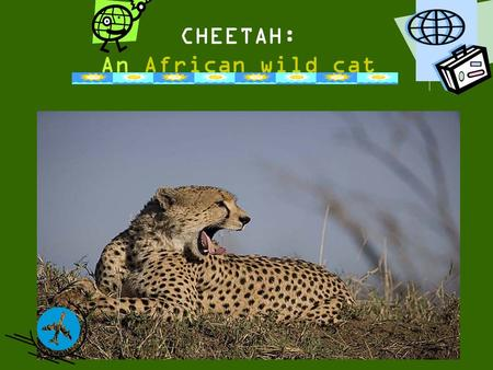 CHEETAH: An African wild cat. Species There are 36 species of the wildcat family across the globe. The place you'd most likely find wildcats is in Africa.