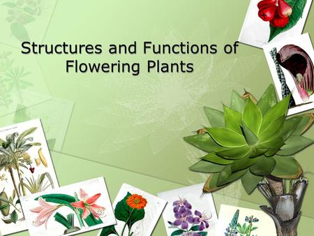 Structures and Functions of Flowering Plants. Functions of Structures of Flowering Plants Defense Thorns –Sharp outgrowths from the stems of some plants.