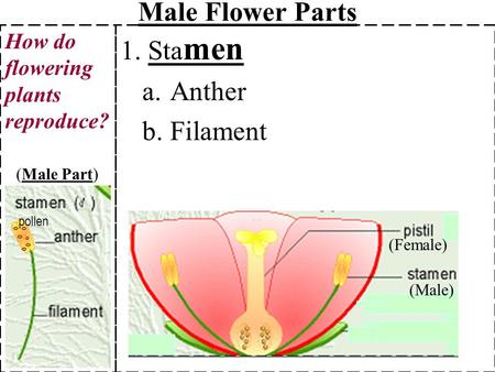 Male Flower Parts 1. Stamen Anther Filament
