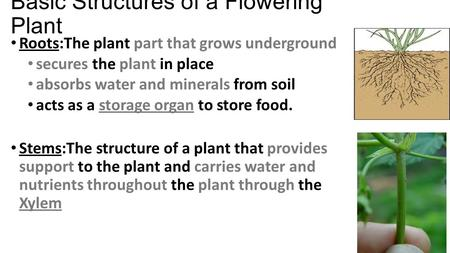 Basic Structures of a Flowering Plant Roots:The plant part that grows underground secures the plant in place absorbs water and minerals from soil acts.