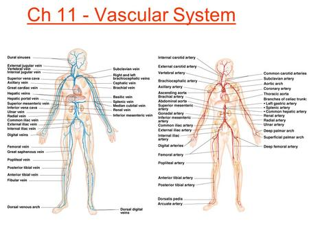 Ch 11 - Vascular System. The Vascular System Taking blood to the tissues and back  Arteries, Arterioles – away from heart  Capillaries – gas exchange.