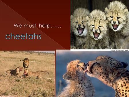  The cheetah is the worlds fastest land mammal and they can reach up to 70mph.  The cheetahs eat antelope.  adult cheetahs weigh between 75 to150 pounds.