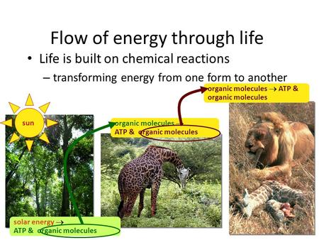 Flow of energy through life Life is built on chemical reactions – transforming energy from one form to another organic molecules  ATP & organic molecules.