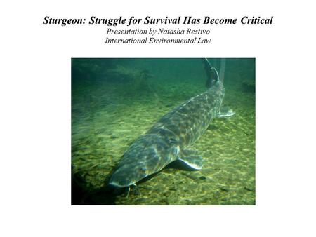 Sturgeon: Struggle for Survival Has Become Critical Presentation by Natasha Restivo International Environmental Law.