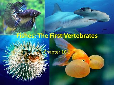Fishes: The First Vertebrates Chapter 16.1. Chordates Fish have backbones so they are vertebrates Just like us they are in the Phylum –Chordata Largest.