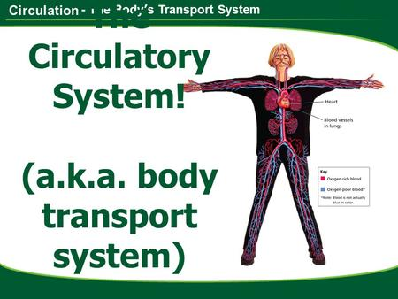 Circulation - The Body's Transport System The Circulatory System! (a.k.a. body transport system)