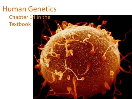 Human Genetics Chapter 14 in the Textbook. Human Chromosomes What makes us different from other animals such as a chimpanzee or earthworm? If the genome.