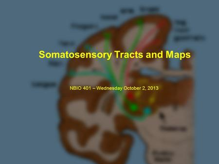 Somatosensory Tracts and Maps NBIO 401 – Wednesday October 2, 2013.