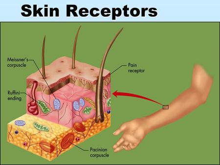 Skin Receptors. Body Receptors  Sensory Receptors- nerves and cells that are in your eyes and ears.  External Receptors – outside the body, pain, heat,