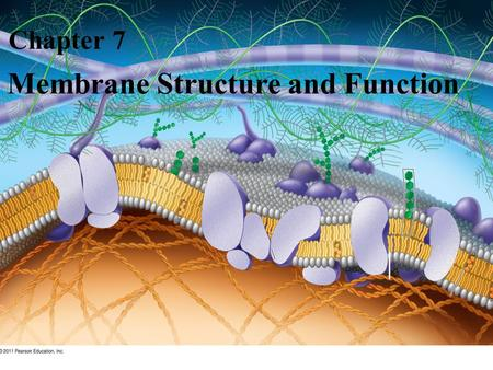 Membrane Structure and Function Chapter 7. Overview: Life at the Edge The plasma membrane is the boundary that separates the living cell from its surroundings.