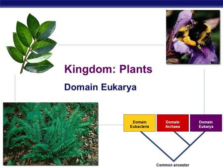 AP Biology 2007-2008 Domain Eubacteria Domain Archaea Domain Eukarya Common ancestor Kingdom: Plants Domain Eukarya.