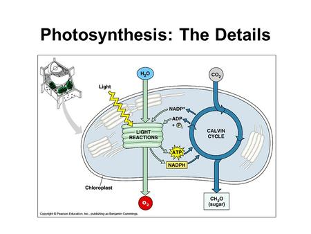 Photosynthesis: The Details. Photosynthesis Divided into two steps: 1.The Light Reactions Noncyclic electron flow 2.The Calvin Cycle Cyclic electron flow.