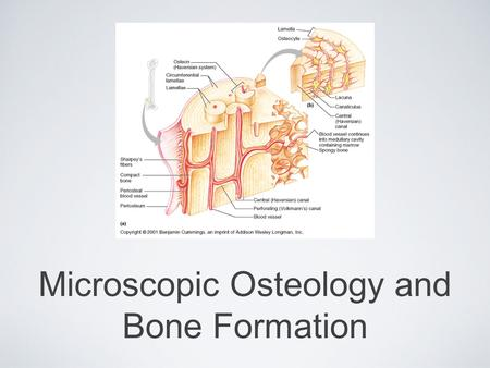 Microscopic Osteology and Bone Formation. Compact Bone We know that compact bone is very dense It is also very complex when viewed under a microscope.