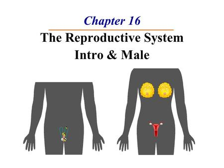 Chapter 16 The Reproductive System Intro & Male. The Reproductive System 1. Gonads – primary sex organs  Testes in males  Ovaries in females 2. Gonads.