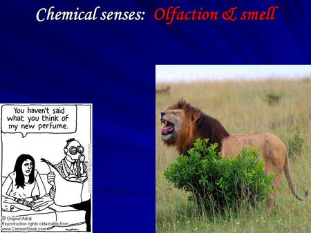 Chemical senses: Olfaction & smell. OBJECTIVES Discuss : basic smell and taste modalities Olfactory gustatory receptor cells olfactory and taste pathways.
