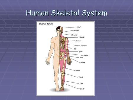 Human Skeletal System. Divisions of the Skeleton The skeleton is divided into two parts because it organizes the skeleton and makes it easier to distinguish.