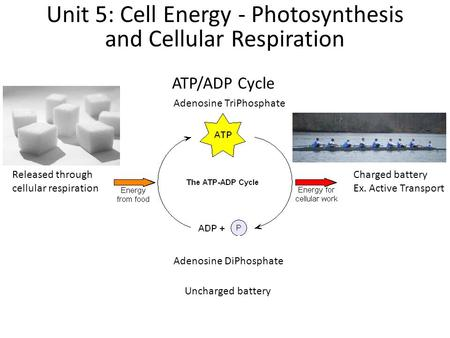 ATP/ADP Cycle Unit 5: Cell Energy - Photosynthesis and Cellular Respiration Adenosine TriPhosphate Charged battery Ex. Active Transport Adenosine DiPhosphate.