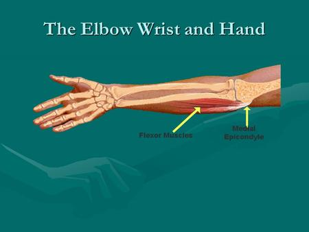 The Elbow Wrist and Hand. Bones of the Elbow Three bones of the elbow:Three bones of the elbow: –Humerus –Radius- lateral bone –Ulna- medial bone.