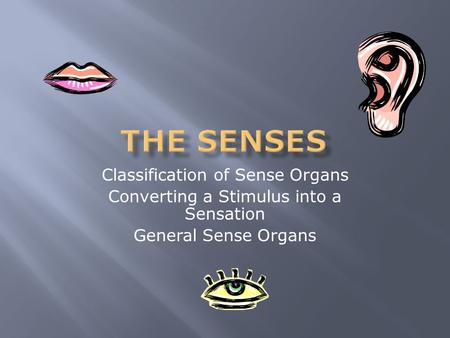 Classification of Sense Organs Converting a Stimulus into a Sensation General Sense Organs.