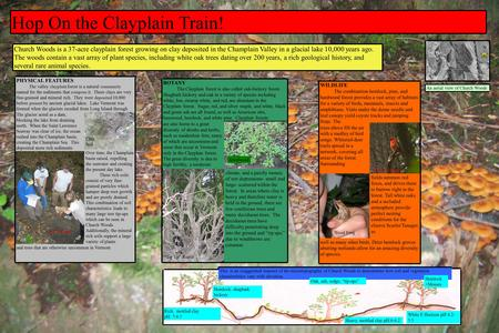Hop On the Clayplain Train! Church Woods is a 37-acre clayplain forest growing on clay deposited in the Champlain Valley in a glacial lake 10,000 years.