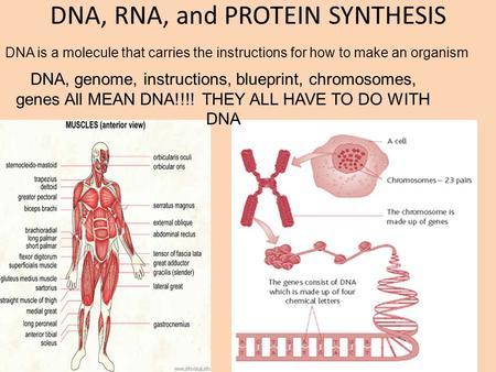 DNA, RNA, and PROTEIN SYNTHESIS DNA, genome, instructions, blueprint, chromosomes, genes All MEAN DNA!!!! THEY ALL HAVE TO DO WITH DNA DNA is a molecule.