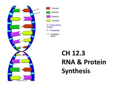CH 12.3 RNA & Protein Synthesis. Genes are coded DNA instructions that control the production of proteins within the cell…