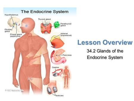Lesson Overview Lesson Overview Glands of the Endocrine System Lesson Overview 34.2 Glands of the Endocrine System.