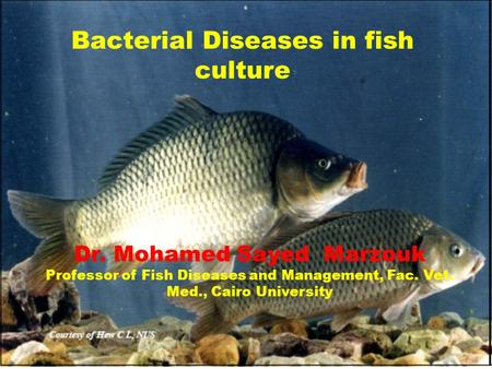 Bacterial Diseases in fish culture Dr. Mohamed Sayed Marzouk Professor of Fish Diseases and Management, Fac. Vet. Med., Cairo University.