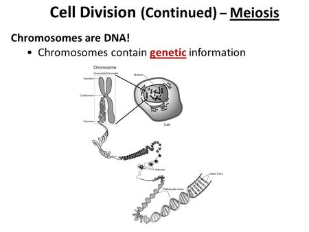 Cell Division (Continued) – Meiosis Chromosomes are DNA! Chromosomes contain genetic information.