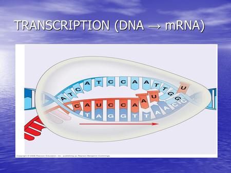 TRANSCRIPTION (DNA → mRNA). Fig. 17-7a-2 Promoter Transcription unit DNA Start point RNA polymerase 5 5 3 3 Initiation 3 3 1 RNA transcript 5 5 Unwound.