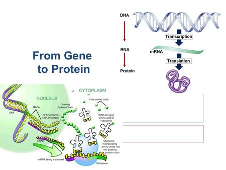 From Gene to Protein proteinscellsbodies How does DNA code for cells & bodies? DNA.