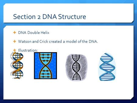 Section 2 DNA Structure  DNA Double Helix  Watson and Crick created a model of the DNA.  Illustration: