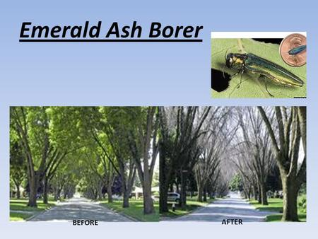 Emerald Ash Borer BEFORE AFTER. Adults: Adult beetles are a bright metallic green in color. Adults are one third inch long and one sixteenth inch wide.