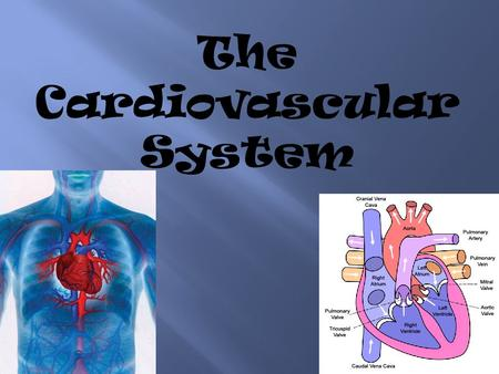 The Cardiovascular System. The heart is the main organ that is used in the circulatory system. The circulatory system includes your heart, blood, veins,