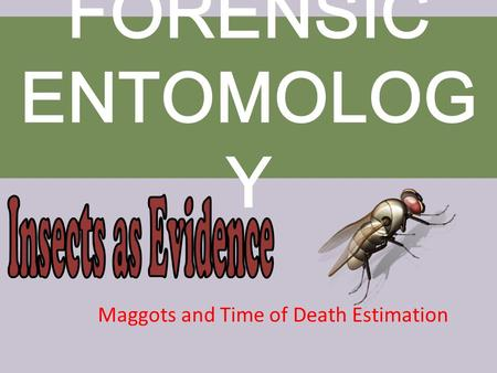 Maggots and Time of Death Estimation FORENSIC ENTOMOLOG Y.